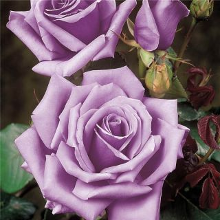 Blue Moon Hybrid Tea Rose Bare Root Rose Plant Shrub Bush