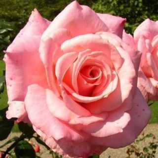 Congratulation​s Hybrid Tea Rose   Bare Root Rose Plant Shrub Bush