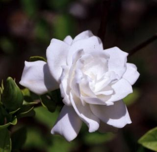 Cape Jasmine (Gardenia jasminoides)   50 Fresh Seed