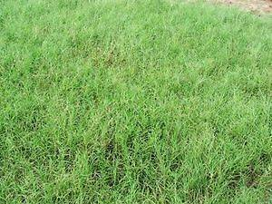 Giant Bermuda Grass Seeds Hulled 1 Lbs Bag. SECURE FAST SHIP