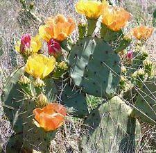 NOPALES CACTUS PRICKLY PEAR 1 PAD = 1 PLANT (ALSO EDIBLE) SMALL PAD