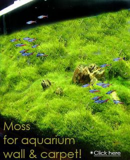 Xmas Moss live aquarium plant decoration package co2 flame java fish
