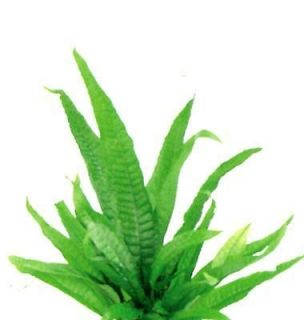 Java Fern x 1 bunch   Live Aquarium Plant Moss Crs Fish