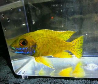 Live Tropical Fish African Cichlids 3 Aul Baenschi Benga color 2 2.5