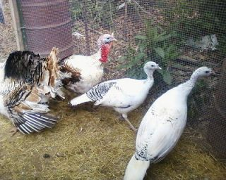 10**ROYAL GOLDEN PALMS TURKEY HATCHING EGGS CALICOS **( PRESALE )**
