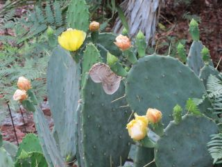 Prickly Pear Pads for planting   Hardy and easy to grow
