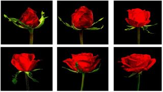 The Six Stages of the Roses Life Cycle