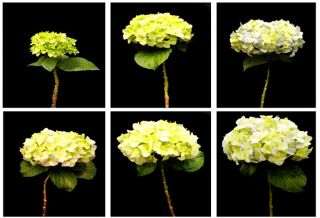 The Six Stages of the Hydrangea Life Cycle