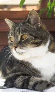 Allergy (Atopy) Treatment Options for Cats   PetMeds®