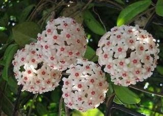 Hoya Carnosa (Wax plant) ~ a plant