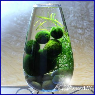 All Sizes Marimo Moss Balls Cladophora Live Aquarium Plant Fish Tank
