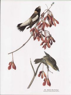 John James Audubon Folio Edition Bird Print Bobolink