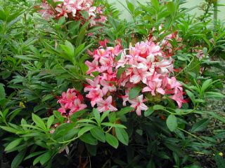 Deciduous Exbury Azalea Pink and Sweet   Purplish Pink Flowers/Golden