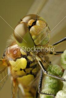 Libellule, Gros plan, Visage, Yeux à facettes, Insecte Photo libre de