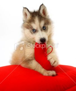 stock photo 12014490 baby siberian husky
