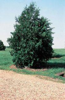 Thuja Occidentalis Northern White Cedar Fresh Seeds