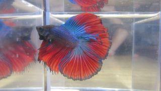 Blue Black Red Tail HMDT Male Betta Fish