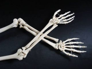 Human Body Skeleton Arms Hands Wrist Bones Medical Anatomical Anatomy