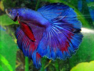 Blue Purple Male Halfmoon Betta Live Fish VM11BLPURP