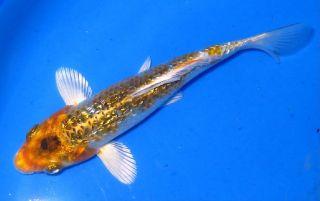 Tropheus Dubosii African Cichlid Live Fish Aquarium Foru