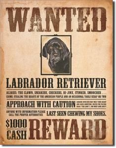 1148 Metal Tin Sign Black Lab Wanted Poster Made in USA 12 5 x 16 Dav