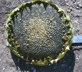 Black Oil Sunflower heads for bird seed   9 to11 head
