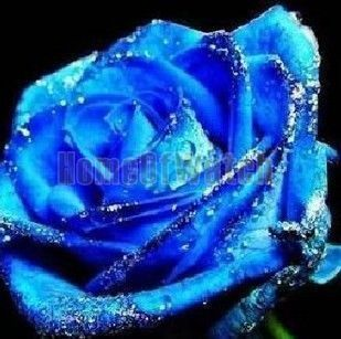 5X Blue Rose Flower Blossom Seeds Garden Plant Free SHIP
