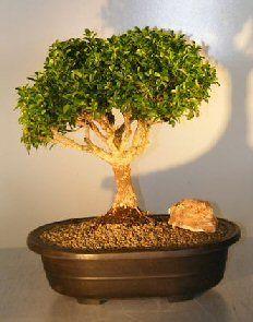 Japanese Kingsville Boxwood Bonsai Tree  23 Years Old, 11 x 11 x 14