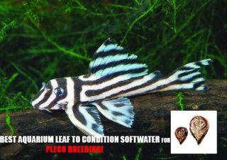 50gram Catappa Leaf for live fish pleco zebra plecostomus tank algae