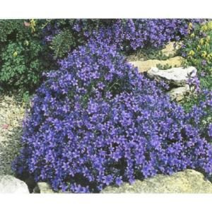 Campanula garganica Low Maintenance Trailing Evergreen Ground Cover