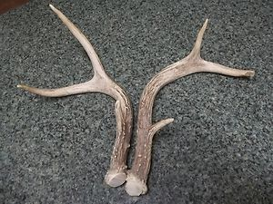 Antlers Matched Pair Small and Cute Horns Shed Deer