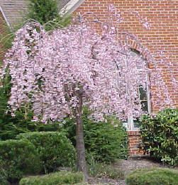 Hardy Ornamental Weeping Cherry Tree Seeds Beautiful Pink Blooms