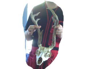 Vintage 4X3 Euro full skull Mule Deer Antlers Unusual & Unique