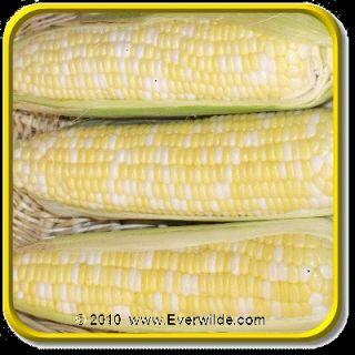 Lb   Xtra Tender 2170   Bulk Bi Color Hybrid Sweet Corn Seeds