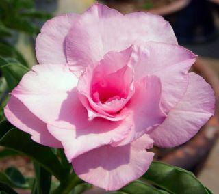 Adenium Obesum Desert RosePink Rose 50 Seeds