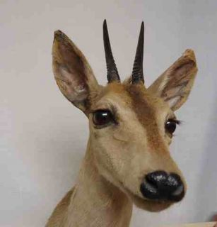 AFRICAN STEINBOK DIK DIK Shoulder Mount w Real Horns * taxidermy
