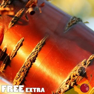 Bark Cherry Prunus Serrula Var Tibetica 10 Extra Seeds Edible