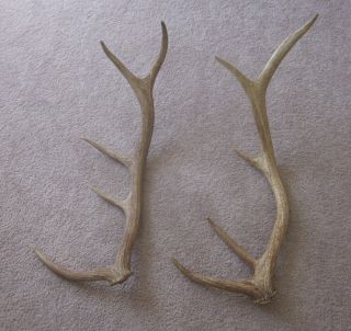 Beautiful 5 Point Shed Elk Antlers Antler Horns Moose Deer Knives