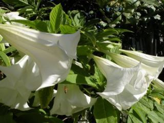 Flowers White Angel Trumpets 25 Seeds RARE Fragrant Exotic 1076