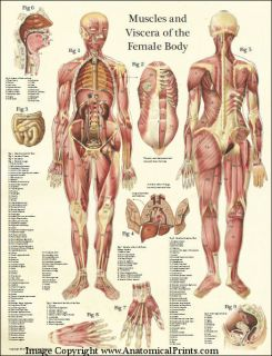 Female Muscles and Viscera Human Anatomy Laminated Poster Wall Chart