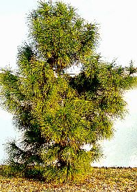 Longleaf Pine Fast Growing Ornamental Evergreen Tree Home Garden Shade