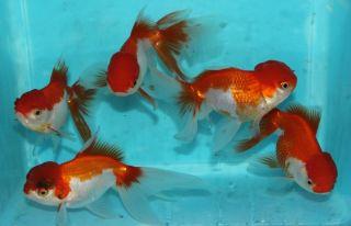 4to5 Red And White Oranda Live Goldfish