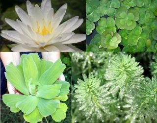 Pond Plant Starter Kit lily, floating plants, water clover, fertilizer