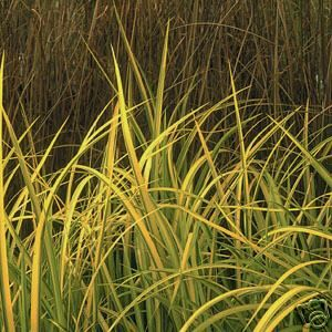 SWEETFLAG,GOLDFISH,KOI,WATER,POND,PLANT,100%,ORGANIC,GROWN,DEP,AG,PA