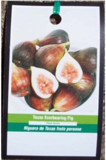 Fig Tree Live Garden Plants Fruit Plant Healthy Figs Trees Now