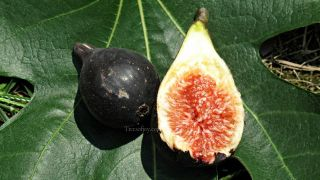 Fig Tree Malone Beautiful and Sweet Black Fig