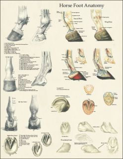 Horse Equine Foot Hoof Anatomy Laminated Poster Wall Chart 17 x 22