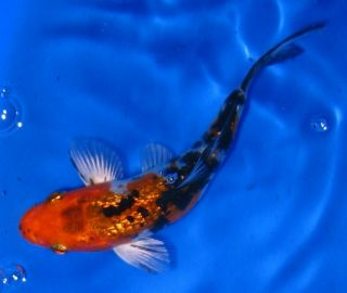 Fire Eel for Live Freshwater Aquarium Fish