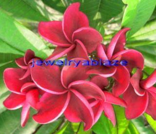 Plumeria Frangipani Flowers Plants Redfire 50 Seeds