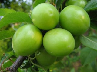 RARE Anatolian Green Kastarca Plum Tree 5 Fresh Seed